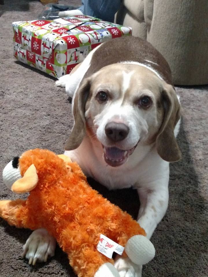 Beagle lays on the ground with an orange chew toy